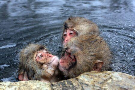 Hot bath for snow monkeys in Jigokudani Monkey Park in Nagano Japan