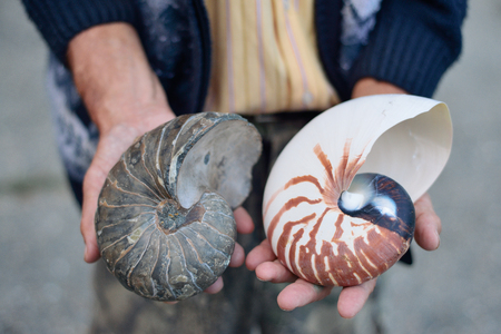 paleontologist: ammonite ancient archaeologist in the hands of the scientist, the concept of the history of the prehistoric era