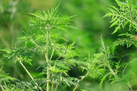 Ragweed-Ambrosia artemisiifolia, allergy