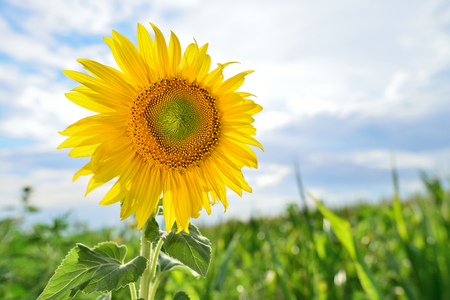 sun energy: field of blooming sunflowers on a background sunset, summer landscape Stock Photo