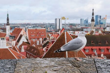 Close up portrait of the seagull looking over blurred Tallinn medieval city and its famous orange roofs and churches as a background