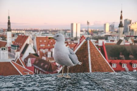 White seagull on the wall with background of Tallinn old town, Estonia. Kohtuotsa viewing platform. White gull, Curious Albatros Posing in Front of Old Town of Tallinn In Estonia