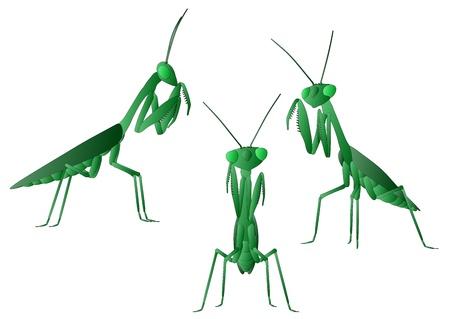 mantis: Praying Mantis  Illustration