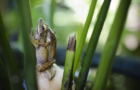 mating: Photo of two mating frogs Stock Photo