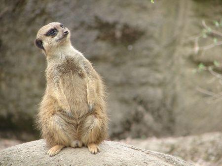 nosy: meerkat