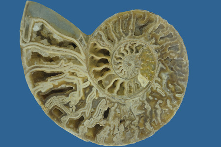 nautilus shell: section of nautilus shell fossil
