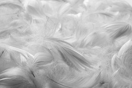 piuma bianca: Piume sfondo. Bianco e nero. Profondità di campo.
