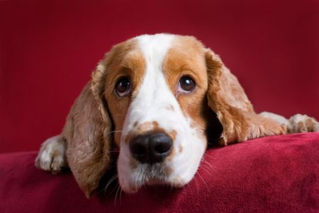 Intent spaniel - selective focus on his eyes. photo