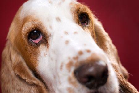 bloodshot: Close up of Cocker Spaniels head. Selective focus on the bloodshot eye.
