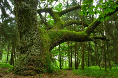 roble arbol: Poderoso en la madera de roble - Mazury, Polonia. Foto de archivo