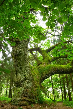 large tree: Mighty oak in the wood - Mazury, Poland.