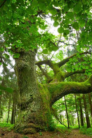 huge tree: Mighty oak in the wood - Mazury, Poland.