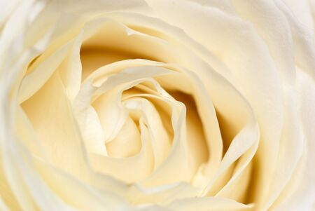 emphasize: Cream-coloured rose - intentional shallow depth of field emphasize softness.