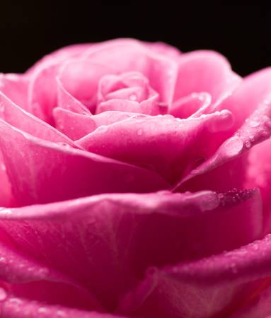 Pink rose with drops of water on black background. photo