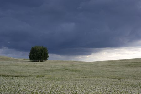 Field of buckwheat and group of trees on the horizon. aRGB. photo