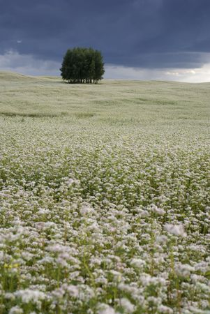 Field of buckwheat and group of trees on the horizon. aRGB. Stock Photo - 4932280