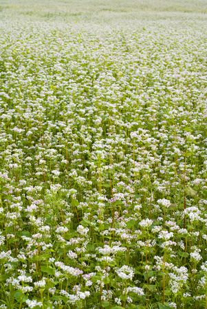 Crop of buckwheat - pseudo cereal plant. aRGB. Stock Photo - 4947646