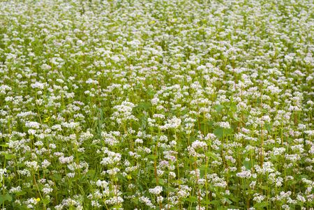 Crop of buckwheat - pseudo cereal plant. aRGB. Stock Photo - 4947648