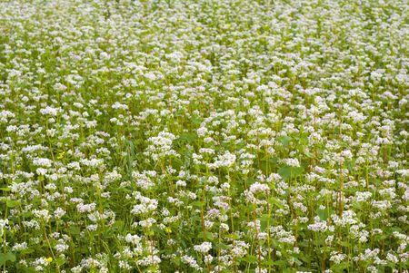 Crop of buckwheat - pseudo cereal plant. aRGB. Stock Photo - 4947648