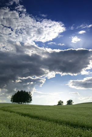 Field of buckwheat, silhouette of tree on the horizon, backlit clouds. aRGB. Stock Photo - 4990164
