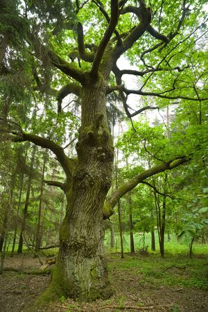 Aged and mossy oak in the forest - Mazury, Poland, aRGB. photo