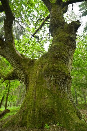 mazury: Aged and mossy oak in the forest - Mazury, Poland, aRGB.