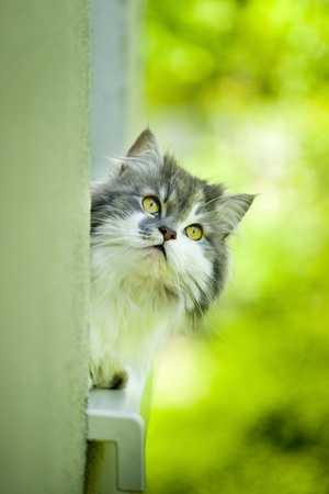 Norwegian Forest Cat lying on the window sill.  photo