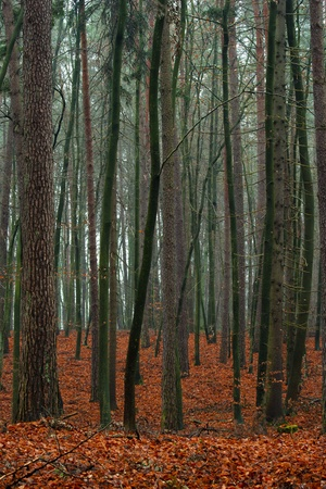 Mixed autumn forest after the rain - fallen red leaves  Stock Photo - 16658126