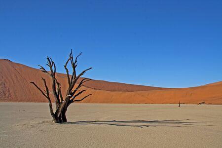acacia tree: A dead Acacia tree in Deadvlei, Sossusvlei, Namibia