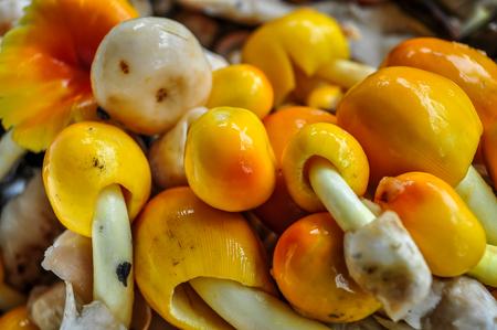 palatable: Yellow mushroom, palatable Stock Photo
