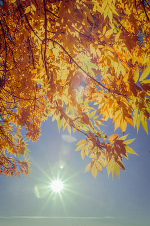 yellow  leaves, backlit with sun.