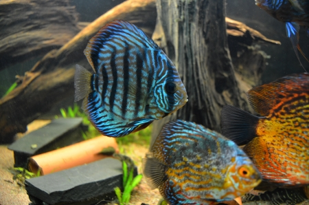 discus: blue turqoise discus fish Stock Photo
