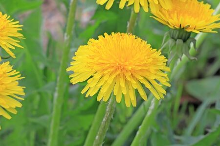 Yellow dandelion in the meadow