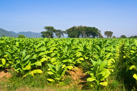 Tobacco field photo