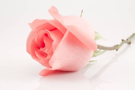 pink rose on white background