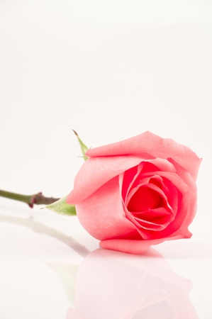 pink rose on white background photo