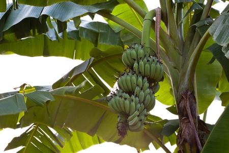 green banana in the graden Stock Photo - 9073027