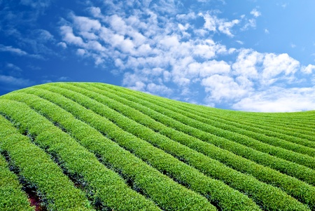 Green tea farm with blue sky background photo