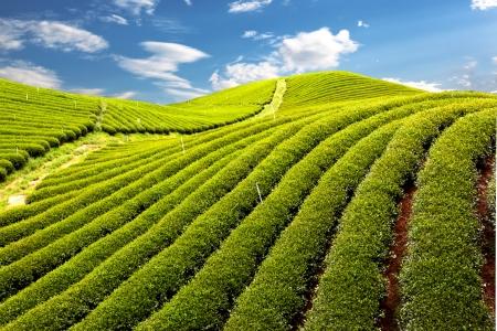 beauty farm: Green tea farm with blue sky background