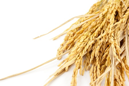 arroz: arroz en el fondo blanco Foto de archivo