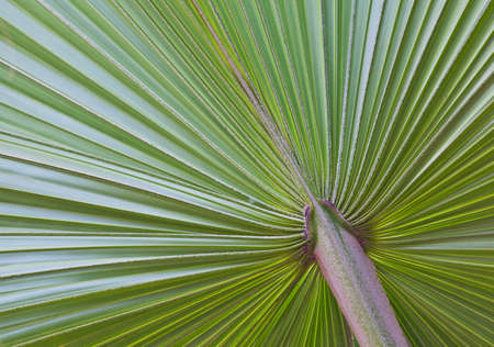 close up of Green palm tree leaf photo