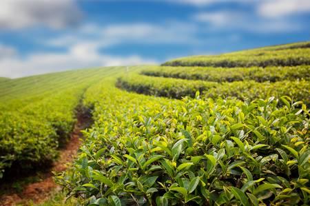 green tea farm on blue sky background photo