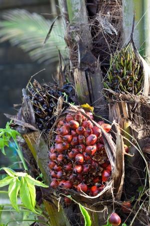 Palm oil fruit photo