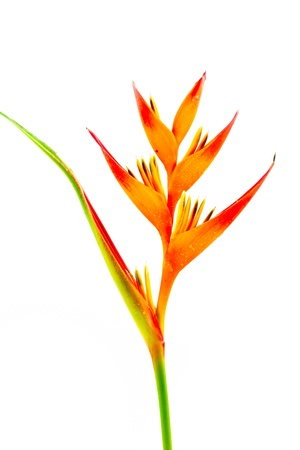 Bird of Paradise flower  on white background.