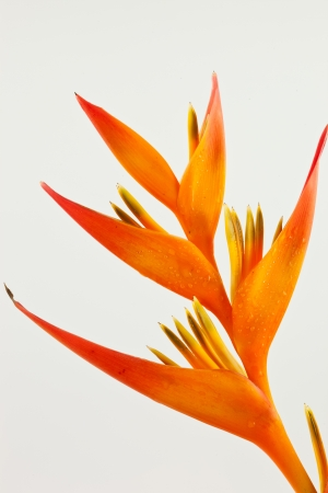 Bird of Paradise flower  on white background. photo