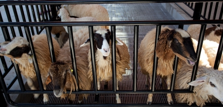 penned: Sheep in a cage