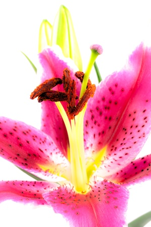 close up pink lily flowers on white photo