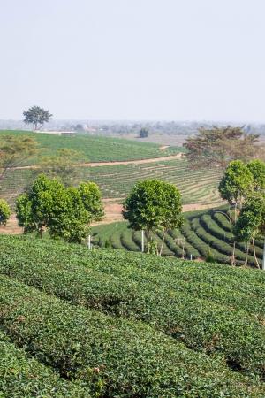 Green tea farm in thailand photo