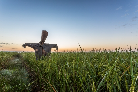 scarecrow in rice field on sunset background photo