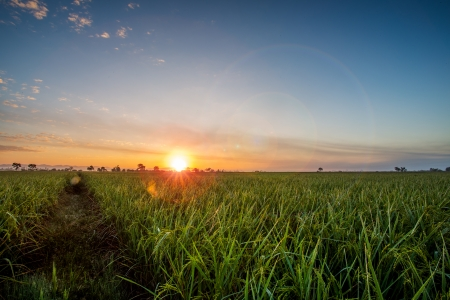 rice field on sunset background photo